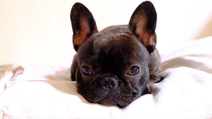 dermatite-atopica-del-cane
